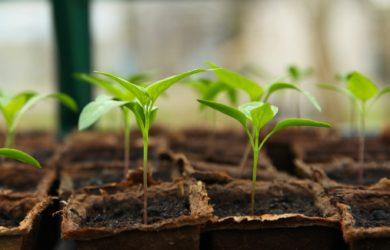Kleine Pflanzen wachsen im Gewächshaus